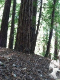 REDWOODS EARTH