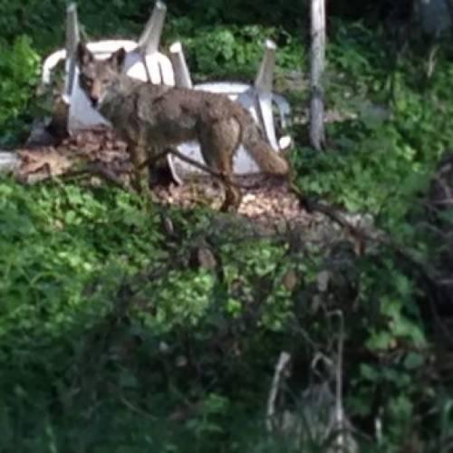 ATWAR GARDEN coyote